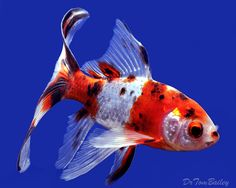 A wonderful Shubunkin Pond Comet Goldfish - To see more click on ... http://www.AquariumFish.net/catalog_pages/goldfish_and_koi/pond_comet_goldfish.htm#top2