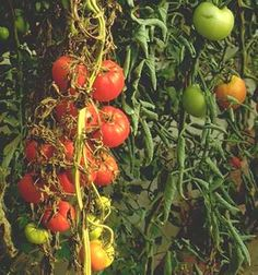 Explanations and pictures of tomato problems