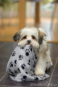 Cute lhasa apso puppy plays with its blanket