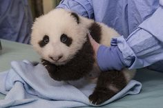 Panda Cub Exam 7 by Official San Diego Zoo, via Flickr