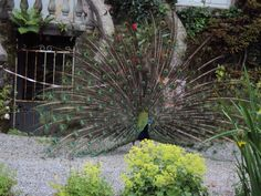 Peacock in Altamont Gardens, Co. Carlow, Ireland