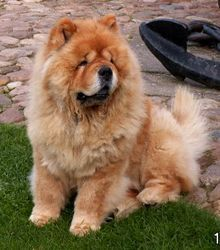 """Chow Chow - China - referred to as Songshi Quan, which literally means """"puffy-lion dog""""."""