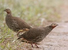 The Swamp Francolin (Francolinus gularis) is found mostly in the Ganges and Brahmaputra valleys, extending from Pilibhit to the extremity of Assam and Cachar, and even occurs occasionally on the Khasi plateau. The bird is easily distinguished from most of our partridges by its large size and comparatively long legs. Its habitat is different from our other species, affecting high grass and cane-brakes near the edges of rivers and jheels, though it will come into cultivated ground to feed.