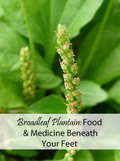 Broadleaf Plantain for Food and Medicine