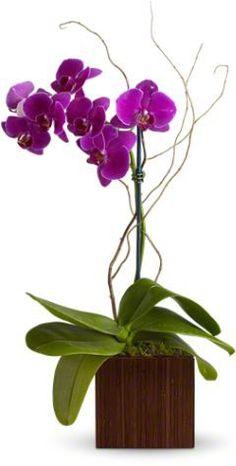 birthday, purpl phalaenopsi, breathtak beauti, purple, orchid plant
