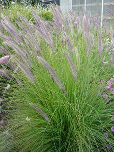 Pennisetum Mountain Ruby Grass