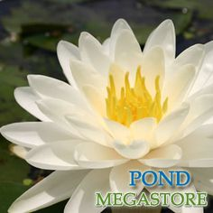 DENVER WATER LILY (S-M)