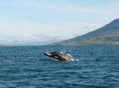 Humpback whale jumping in Eyjafjordur Dalvik