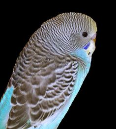 Portrait of a Parakeet