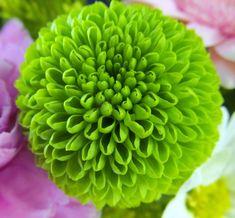Flowers Similar to Mums   ... Green button mums