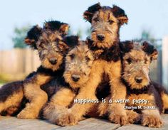 "2014 Dogs, ""Man's Best Friends"" Business Calendars - February 2014 - Airedale Terrier Puppies - ""Happiness is a warm puppy.""...Charles M. Schultz"