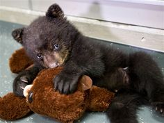 This black bear cub has been on quite an adventure since an Oregon family took him from the wild in April. Now he's... (Carli Davidson/Oregon Zoo)