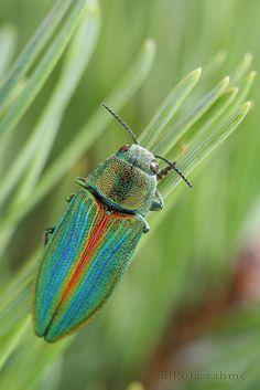 Buprestis splendens (male) by nikolarahme, via Flickr