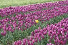 """""""L'intruso"""" del turistapercaso Closer in Olanda #buongiorno #flowerpower :)"""