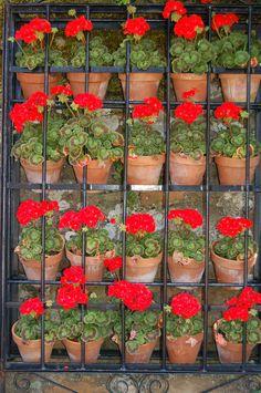 geraniums!!