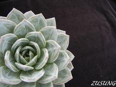 Echeveria 'White Champaign' by Zusung, via Flickr