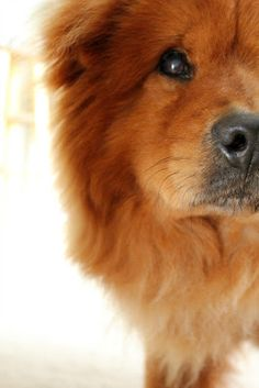 chow chow - Bosco #dogs #animal