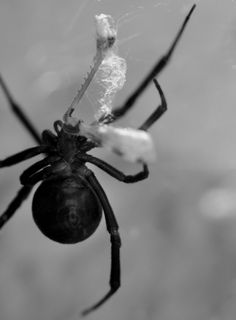 Black Widow has toxic bite which is potentially fatal. Seek medical attention as soon as bitten. URL: http://wolfspider.org/