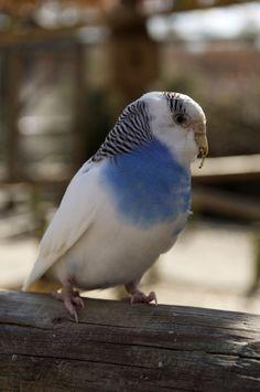 Budgies and Parakeets on Pinterest   Budgies, Parakeets ...