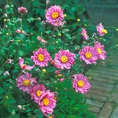 Japanese anemone on pinterest anemones perennials and