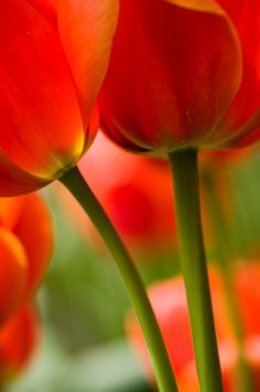 Abstract of orange tulips. by Georgianna Lane