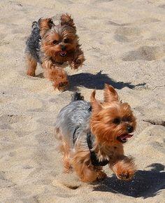 Yorkies at the beach