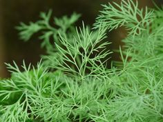 Dill is an ancient herb that contains medicinal compounds including flavoniods and monoterpenes. These compounds make dill a great antioxidant and chemprotective herb that is highly beneficial for viral, bacterial, yeast, and fungal infections, parasites, pain relief, sleep disorders, cancer prevention, and respiratory disorders. Dill is also regularly used as a digestive aid and can help reduce bad breath, acid reflux, flatulence, indigestion, and diarrhea.