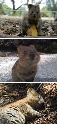 World's happiest animal? The quokka. HE IS SO CUTE!!