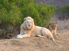 Travel to South Africa. Assist with a rare White Lion conservation and reintroduction program. Click image for more info....and please share.