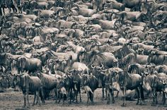 An Implausibility of Wildebeest - Migration at the Mara River by David Lloyd: Nature's Majesty, The Great Migration  #Wildebeest #David_Lloyd #Africa #Great_Migration