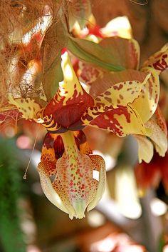 Exotic orchid - Stanhopia, Ann Cameron, Australia