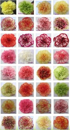 WD: Different coloured carnations that you could get for your bouquet to suit any theme #color #carnations #bouquet #theme #brideandgroom #ceremony #weddings