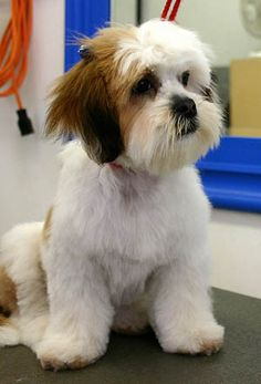 lhasa apso haircuts | Hair Cuts Dogs on Basic Dog Grooming Grooming Tips For Your New Puppy