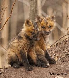 Fox Kits by Les Piccolo
