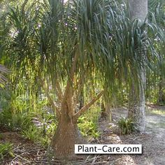 Ponytail Palms - from house plants to garden ornaments.
