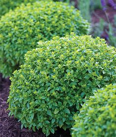 Boxwood Basil---would be lovely in containers flanking the door. Would make a gorgeous and edible border.