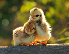 """Aww, isn't this the sweetest thing you've ever seen?? """"I'll protect you, buddy!!"""" says the standing one. Oh, they are so so very very cute and sweet!! So so very very beautiful and adorable too!! Love them!! :))    (By Prachit Punyapor.)    (They are chicks :)).)    Pic via Pixdaus http://pixdaus.com/i-will-protect-you-by-prachit-punyapor-friends/items/view/315227/    #God #spirituality #animals #nature #sweet #touching #animal #chicks #bird #birds"""