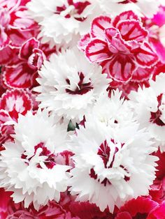 'Silver Star' Dianthus plant, garden container, white flowers, silver star, red, color, stars, dianthus, garden flower