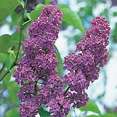Lilac  Full Sun  Early Spring