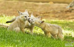 baby kit foxes smelling each other