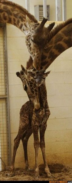 Giraffes - Reminds me of Tall Boy, Patches and Grace from Tupelo Buffalo Park.