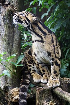 Beautiful clouded leopard.