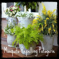 Mosquito-Repelling Potagerie