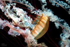 Jellyfish by LivingTestimony, via Flickr