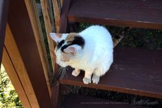 This very pretty calico kitty is a stray who showed up in someone's back yard—and she's a tripod, missing her right hind leg. It doesn't stop her from getting around though! When a senior kitty mis...