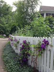 Clematis on a white picket fence