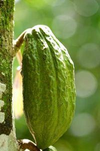 Grow Cacao Beans