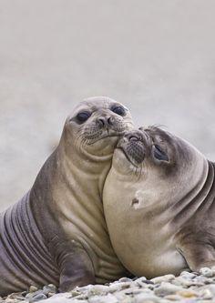 . #seals #sealions #manatee #sealife #oceanlife #mammals