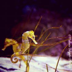 seahorse, seahorse