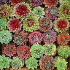 Love hens and chicks